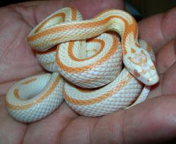 "This ""Stripe creamsicle corn snake"" amazes me.."