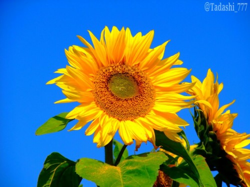 A sunflower under the blue sky.
