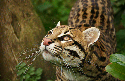 tumbletower:  Ocelot  (Leopardus pardalis) (by Chris Barella)