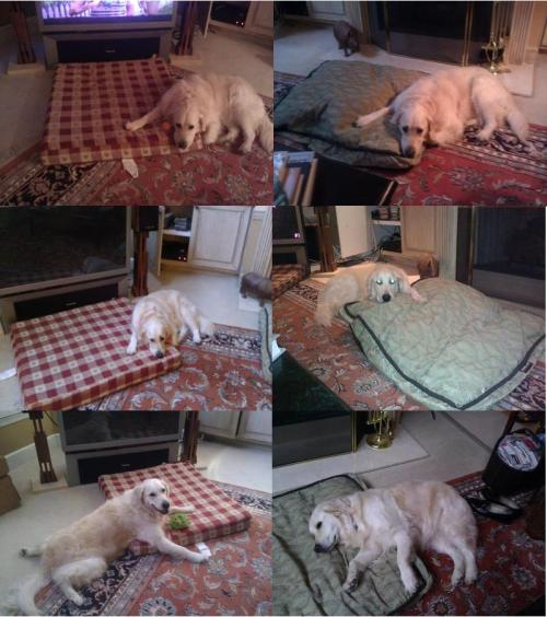 dog fully utilizes her beds  画