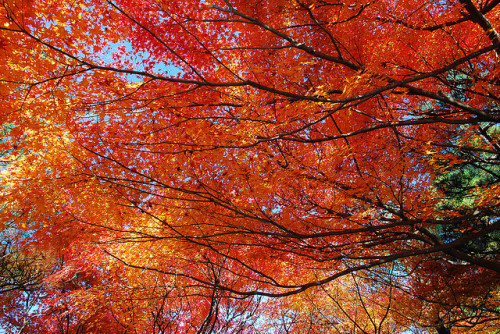 Today we are feeling Autumnal… The Japanese have a word for admiring the Autumn leaves… Momijigari (Red leaves hunting). We'd love to see your Momijigari pics on our facebook page wherever you are, and we'll share the best with everyone. covertintel:  紅 momi crimson 葉 ji leaves 狩り gari hunting trip