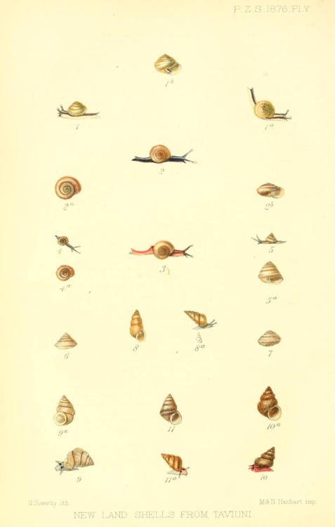 biomedicalephemera:  New Land Shells from Taviuni [Taveuni] - Click through to greatly enlarge these teeny guys! These little snails are from the third-largest Figian island, Tavenui. Tavenui is one of the best-preserved islands of the Fiji archipelago, as the population is almost entirely indigenous populations (living a simple sustenance lifestyle), and foreign predators like the mongoose have never gotten a foothold. Luckily, as the business of ecotourism continues to expand, the incentive to keep the island (and its native flora & fauna) intact. The rich volcanic soil that comprises the island would otherwise likely be exploited for palm oil and coconut production. I'll take awesome teeny snails, unique fruit bats, orange doves, and Kula parrots over a few tons of palm oil any day. From Proceedings of the Scientific Meetings of the Zoological Society of London for the year 1876.