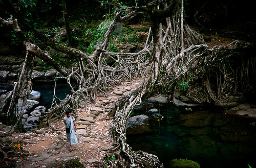 ebbynezer:  The living bridge.  Goblin bridge in the India/Bangladesh frontierlands.  Photo copyright Amos Chapple/Rex Features. Mind_Virus:  Deep in the rainforests of the Indian state of Meghalaya, bridges are not built, they're grown. For more than 500 years locals have guided roots and vines from the native Ficus Elastica (rubber tree) across rivers, using hollowed out trees to create root guidance systems.  Mugstain:  I first saw this on Human Planet, a BBC documentary. Here's a few more pictures and information, and here's part of the documentary. Boy, I loved that programme.