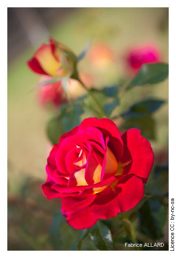 Yellow-red rose(Issoire, France, 08/22/2011)
