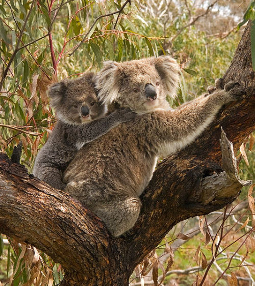 A female koala (Phascolarctos cinereus) with her joey clinging to her back. At birth the joey is hairless, blind, and  earless, and only about 20 mm (0.79 in) long. It remains hidden in the  pouch for about six months, feeding only on milk. During this time it  will grow ears, eyes, and fur. The joey will remain with its mother for  another 6 mo. or so, riding on her back, and feeding on both milk  and eucalyptus leaves until weaning is complete at about 12 mo. of age.