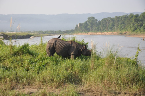 Chitwan National Park  Activities - Canoe ride, Jungle walk, Jeep Safari, Cultural dance, Elephant ride, Teasing Canadians aboot the way they talk.  Animals- Barking deer, Soma Deer, Wild Boar, Elephants, hundreds of dragon flies, Kingfishers, Gharil (Crocodile), and this massive Rhino on the last day