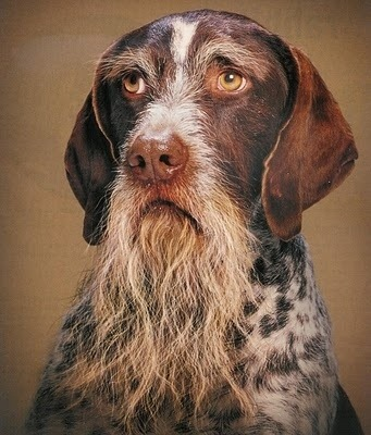 buzzfeed:  [19 Dogs With Beards]  Iron and Rawhide.