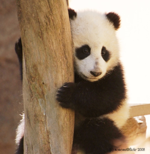 fuckyeahgiantpanda:  Zhen Zhen at the San Diego Zoo on February 27, 2008. © Somesai.