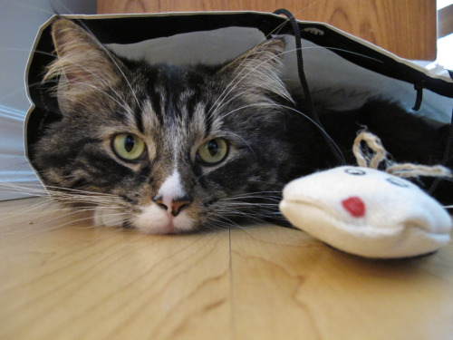 Max. With his catnip mouse in a Banana Republic bag.