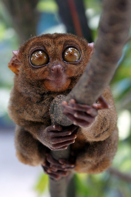 "Tarsius syrichta fraterculus (""magau"") by α is for äpΩL † on Flickr."