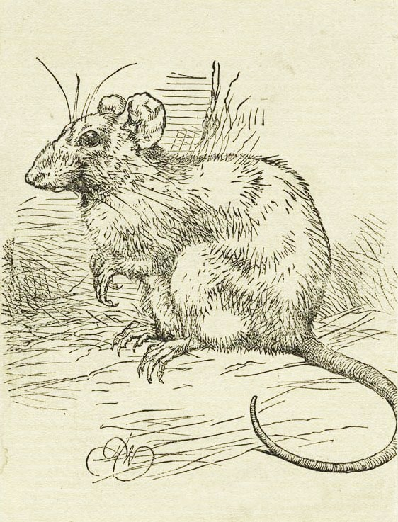 Portrait of a Rat - Engraving published in London in the late 18oos