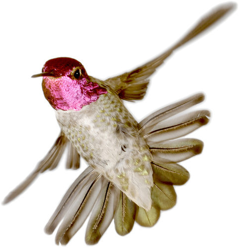 "rhamphotheca:  How Male Hummingbirds Use Their Tails To Impress Females By SINDYA N. BHANOO When male hummingbirds perform valiant dives in front of females, they are actually enticing them with high-frequency vibrations produced by their tail feathers, a new study reports. The vibrations are audible, precise and separate from the humming of the wings that gives the birds their name. Females may be making use of these vibrations to select mates, said the  study's lead author, Christopher Clark, an expert on biomechanics at  Yale. Dr. Clark and his colleagues from Yale and the University of California, Berkeley, report their findings in the current issue of the journal Science. ""The sounds of each  species are fairly distinctive and fairly unique,"" he said. ""It clearly  evolved as a communication signal."" The researchers studied 31 tail feathers from 14 species of  hummingbirds. They placed the feathers in a wind tunnel and used a  Doppler vibrometer to measure the vibrations… (read more: NY Times) (photo: Anna's Hummingbird, Calypte anna, by Chris Clark)"