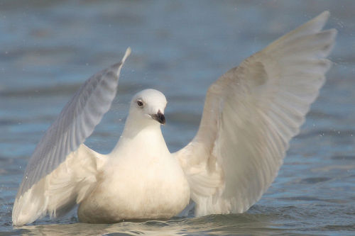 rhamphotheca:  Iceland Gull (Larus glaucoides),  Bluffer's Park, Toronto, Canada. – A first winter individual, taking a  bath. Note the pale colour and lack of black near tips of wings. (text/photo: Mdf)