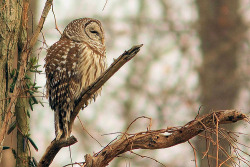 curitas:  Barred Owl (by Inland Bay Photography)