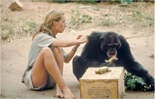 baron hugo van lawick - jane goodall and david greybeard, 1965 explore/donate: the jane goodall institute