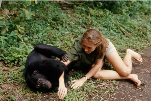 baron hugo van lawick - jane goodall and figan, 1965 explore/donate: the jane goodall institute