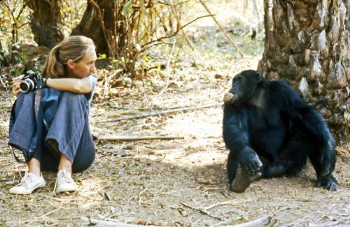 dr. jane goodall with one of the chimpanzees she observed in what is today tanzania's gombe national park explore/donate: the jane goodall institute