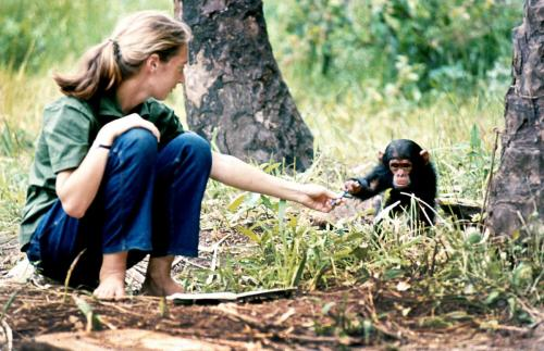 baron hugo van lawick - jane goodall with baby chimpanzee flint explore/donate: the jane goodall institute