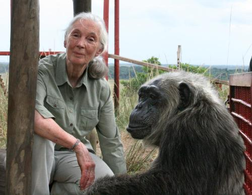 jane goodall with rescued chimpanzee la vielle at the jane goodall Institute's tchimpounga chimpanzee rehabilitation center in the republic of congo explore/donate: the jane goodall institute