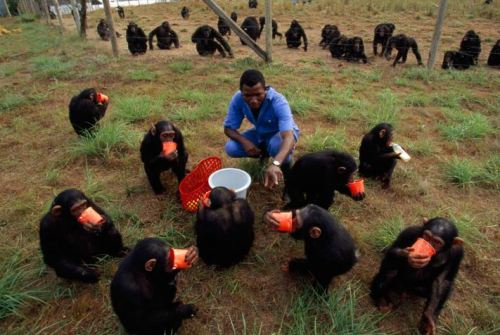 michael nichols - tchimpounga chimpanzee rehabilitation center (drinks are on the house at the tchimpounga sanctuary for orphan chimps. older animals wait their turn as a keeper tends the youngest, still recovering from such nightmares as cramped cages, starvation, and the shock of seeing mothers shot by poachers)  explore/donate: the jane goodall institute