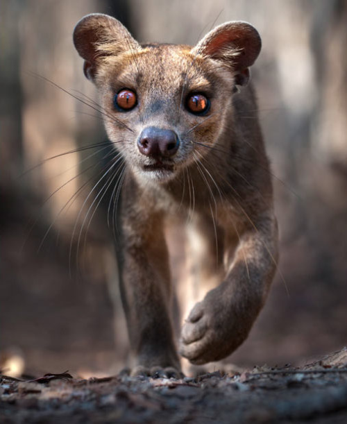 capitaldeath:  An adult female fossa (Crytoprocta ferox) stalks prey on the floor of the Kirindy Forest in western Madagascar. Picture: Nick Garbutt / Barcroft Media