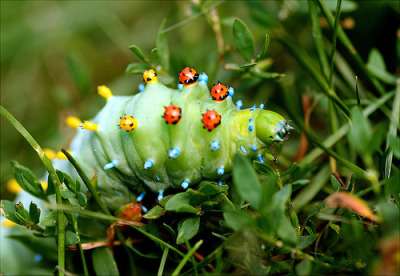 foxgloves:  Cecropia caterpillar (by Lida Rose)
