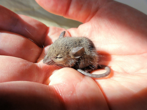magicalnaturetour:  Lorenzo, a tiny field mouse by brooksbos on Flickr. :)