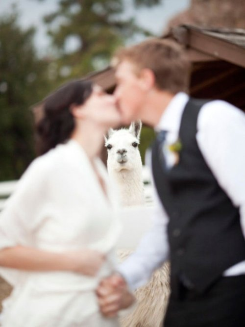 Llama Photobombs Wedding Kiss You had your chance, llama. You held your peace.