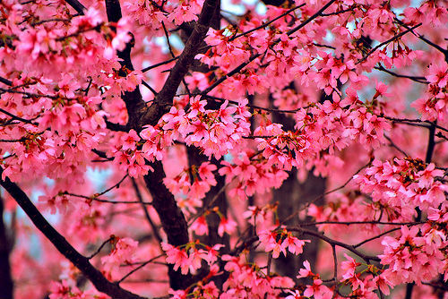 Dream Backyard Blossoms on the trees