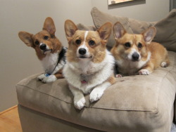 and corgi makes three!!!