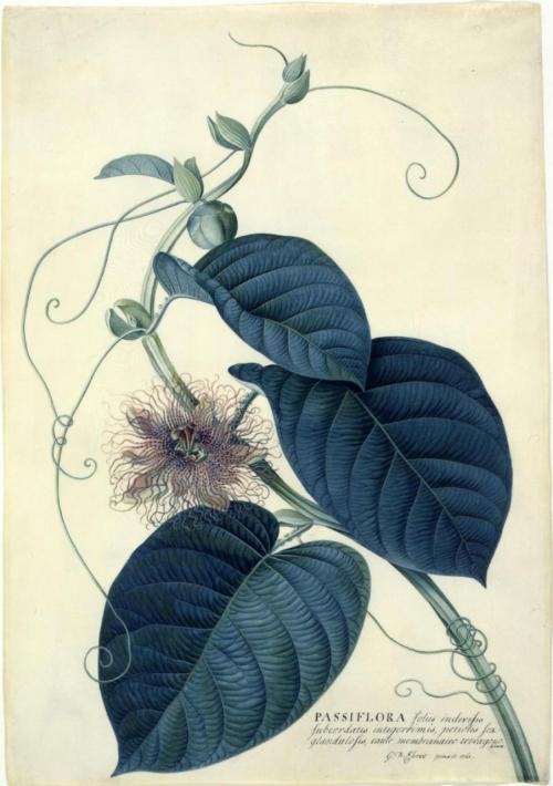 iseethemagictoo:  itsokaytobepluto:Georg Dionysius Ehret's botanical illustrations are amazing.