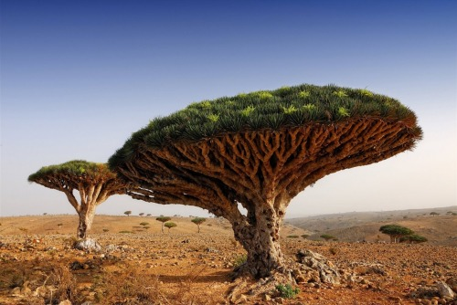 Dragon Blood Tree, Socotra, Yemen. A place I'd rather be.