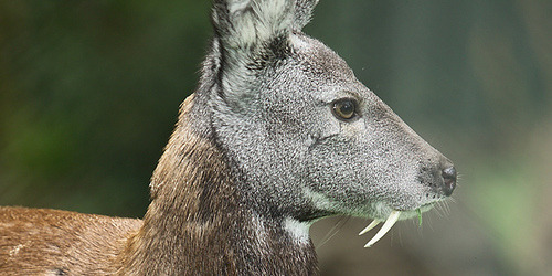 huskdawg:  fuckyeahungulates:  Siberian Musk Deer (Moschus moschiferus)  holy shit that's so badass
