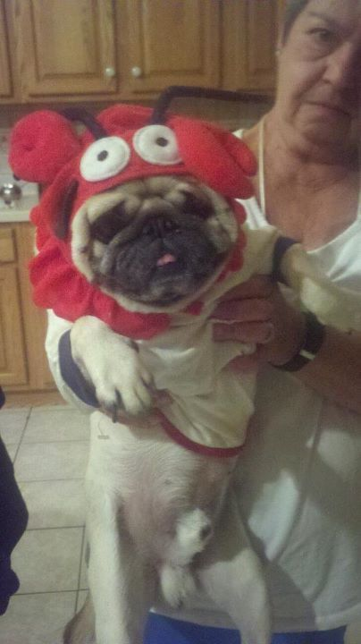 whoaimitalian:  My dog is unique.. Part pug part lobster.