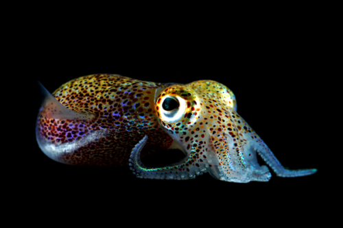 oceansoftheworld:  (Photo found here) This is a Hawaiian bobtail squid (Euprymna scolopes); a species of bobtail squid (see this previous post) in the family Sepiolidae. It is native to the central Pacific Ocean, where it occurs in shallow coastal waters off the Hawaiin Islands. (Source) Birthday week re-post!