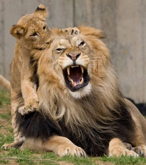 magicalnaturetour:  The Smithsonian Zoo's lions did react to the earthquake, but went back to their routines within minutes of the shaking, while other animals were more irritated by the quake, sending out alarm calls and hiding via livescience.com CREDIT: Smithsonian's National Zoo :)