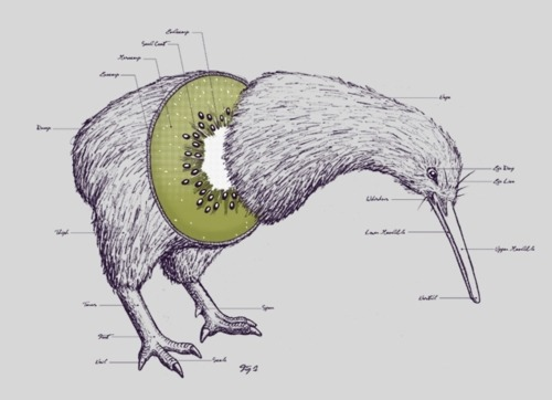 trifunkalicious:  Love this image of the Kiwi Anatomy. Super awesome.  via trifunkalicious