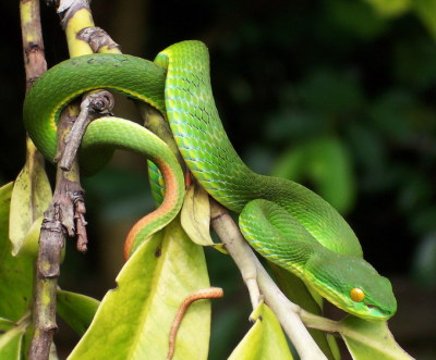 rhamphotheca:  White-lipped Pitviper (Trimeresurus albolabris) male from Situgede, Bogor, West Java, Indonesia (photo: W.A. Djatmiko)