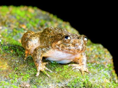 "rhamphotheca:    Newly Discovered Frogs, India:  Coorg Night Frog by Christine Dell'Amore   Rediscovered after 90 years, the Coorg night frog was originally described in 1920 by CR Narayana Rao, ""the pioneer of Indian amphibian research,"" researcher Biju Das said. The species was discovered in Coorg—now Kodagu—an area in India's Karnataka state. Das and colleagues found just one male frog in Mercara, a town near Kodagu. (via: National Geo)   (photo: Biju Das)"