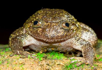 "rhamphotheca:    Newly Discovered Frogs, India:  Wayanad Night Frog by Christine Dell'Amore   With males measuring up to 3 inches (7.7 centimeters), the robust-bodied Wayanad night frog is the now biggest of the Nyctibatrachus genus. Unlike their brethren, which abandon their eggs when threatened, Wayanad frogs will stay and fight aggressors. For example, ""when the [egg] site was approached too closely by the investigator, the guarding animals … instantly inflated or raised the body, and did not hesitate to bite a twig or a finger,"" according to the study.  (via: National Geo)   (photo: Biju Das)"