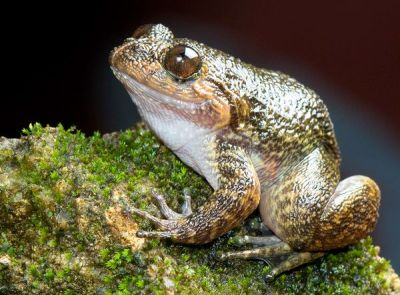 rhamphotheca:    Newly Discovered Frogs, India:  Gavi Night Frog by Christine Dell'Amore   Researcher Biju Das and colleagues found the loud-singing Gavi night frog in a cardamom plantation in India's Kerala state. It's named after Gavi, a village in the middle of the plantation. Several of the 12 newly discovered species are very rare, existing only in small pockets of protected forests, Das noted. Others, like the Gavi night frog, live outside reserves and need conservation attention, he said.  (via: National Geo)   (photo: Biju Das)