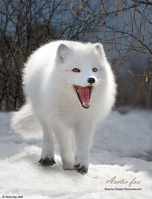 thesizeofmyheart:  Arctic fox - Renard arctique by www.digitaldirect.ca on Flickr.
