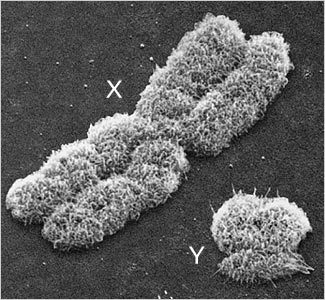 sexual chromosomes visualized by electron microscopy