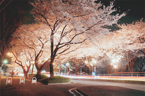 sakura night #5 (by silentdays)