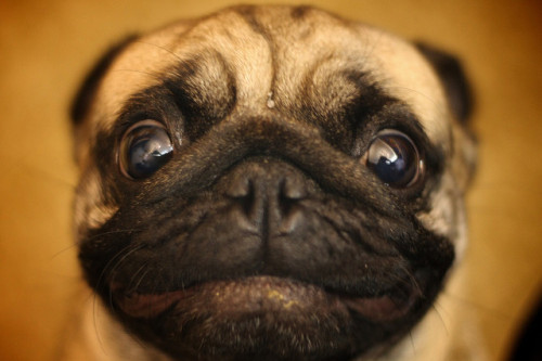 allpug:  LolDog by The Round Peg