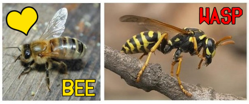 "BACKYARD NATURALISTBy Carol Coogan ""The words ""bee,"" ""wasp"" and ""hornet"" are often used interchangeably as people flee, swat or kill anything remotely resembling something they fear may sting them. Having recently witnessed an innocent honey bee meet just such an end while minding its own business collecting nectar from flowers, I offer some clarification. Although bees, wasps, sawflies and ants all belong the Hymenoptera order of insects, meaning ""membrane-winged,"" honeybees and bumblebees belong to one family within this order, while wasps belong to several other different families. Hornets and yellow jackets are actually wasps, for example. Wasps are generally aggressive, territorial and predatory. Many feed on other insects and spiders, stinging their prey repeatedly to paralyze them beforehand. Bees, on the other hand, live a more peaceful existence. Rounder-bodied and more ""teddy bear"" fuzzy than wasps, bees keep to themselves, moving from flower to flower for their simple diet of honey [and pollen]. No insect is as widely effective for pollinating the crops and flowers we all enjoy as the honeybee. They are not inclined to sting unless threatened, [and] die if they do. Their populations are in decline. Please, be kind to bees."" [Click here to read the original article on timesunion.com]"
