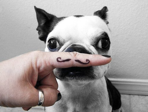 squishfacedogs:  What if Boston Terriers really had tiny mustaches? So cute!  so distinguished!