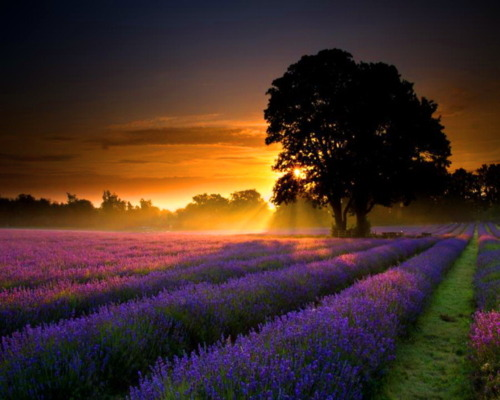 petitpoulailler:  bluepueblo: Lavender Sunset, Provence France; photo via belleatelier