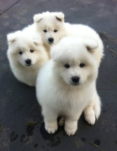 la-vita-di-classe:  cancune:  eofia:  sooo fluffy!!   I WANT THESE DOGS SO BADLY   OH MY HOSH