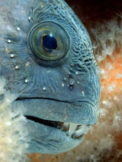 ATLANTIC WOLFFISHAnarhichas lupus©Espen Rekdal  The Atlantic wolffish's distinguishing feature, from which it gets its  common name, is its extensive teeth structure. Its dentition (teeth)  distinguishes the Atlanitic wolffish from all the other members of the  Anarhichadidae family. Both the lower and upper jaw are armed with four  to six fang-like, strong conical teeth. Behind the conical teeth in the  upper jaw, there are three rows of crushing teeth. The central row has  four pairs of molars and the outer rows house blunted conical teeth. The  lower jaw has two rows of molars behind the primary conical teeth. The  wolffish's throat is also scattered with serrated teeth.  The Atlantic wolffish are primarily stationary fish, rarely moving from their rocky home. They are benthic dwellers,  living on the hard ocean floor, frequently seen in nooks and small  caves. They like cold water, at depths of 76 to 120 meters (250 to  400 ft). They are usually found in waters of 34-37°F (1-2°C) and  sometimes as low as 30°F (-1°C). Since they live in nearly freezing  waters, in order to keep their blood moving smoothly, their blood  contains a natural antifreeze.  Source: http://en.wikipedia.org/wiki/Seawolf_%28fish%29    explosionsoflife: What's a seawolf? I'm a seawolf..!? (That's my college's chant.)